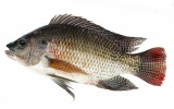 Our Black Nile Tilapia