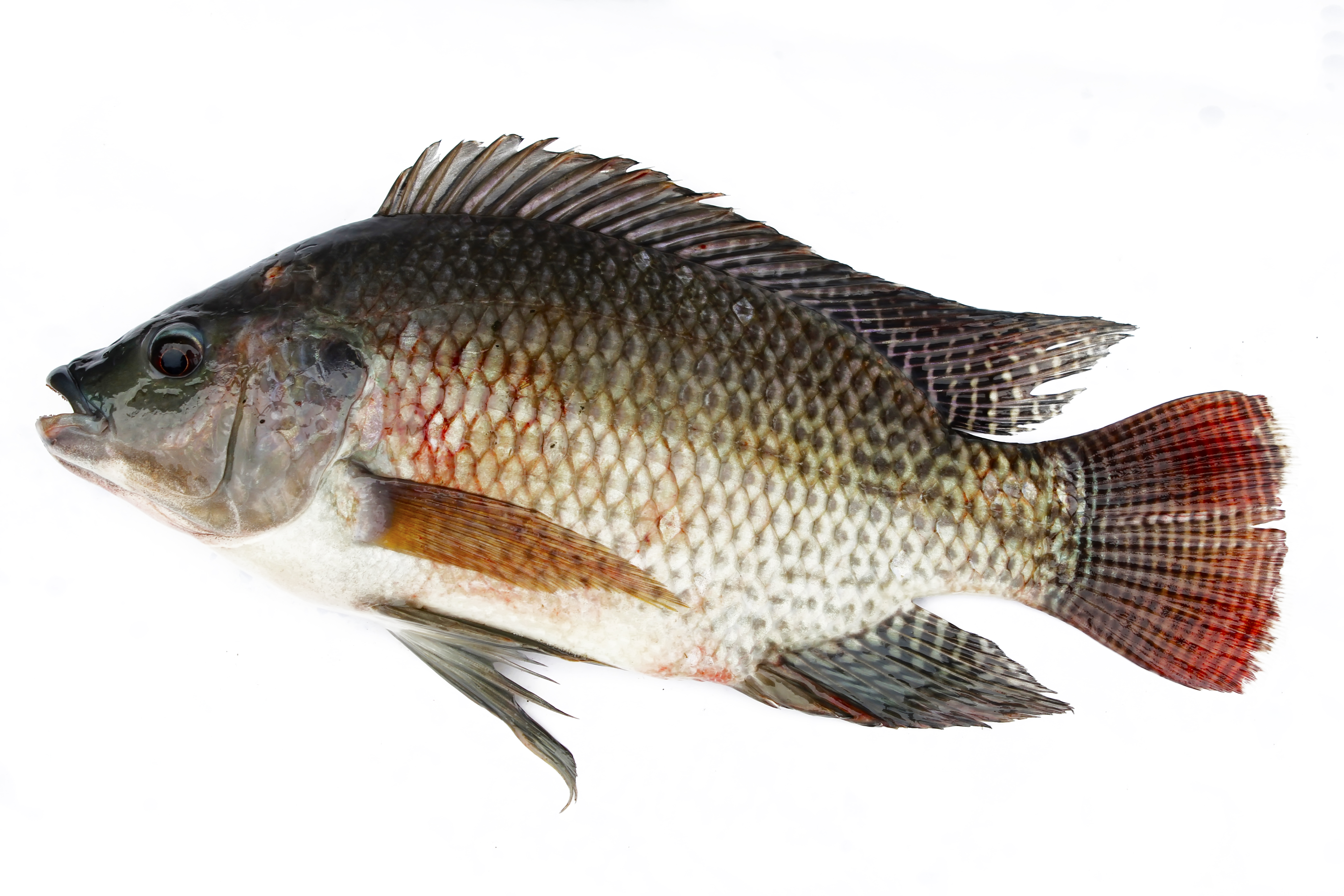 Related keywords suggestions for nile tilapia for What is tilapia fish